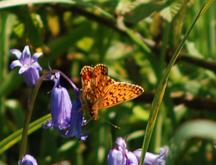 butterflies on common