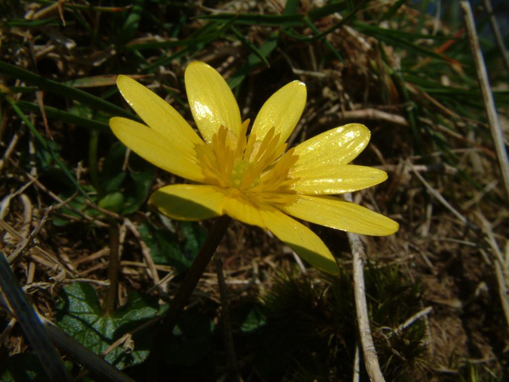 Ranunculus ficaria, Lesser celandine, 24.03.2007 (2)