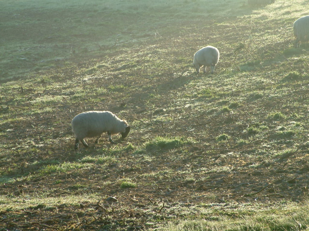 sheep-west-blackdown